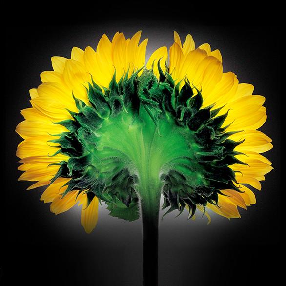 JF FlowerART Sunflower 09