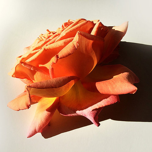 JF Rose 42
