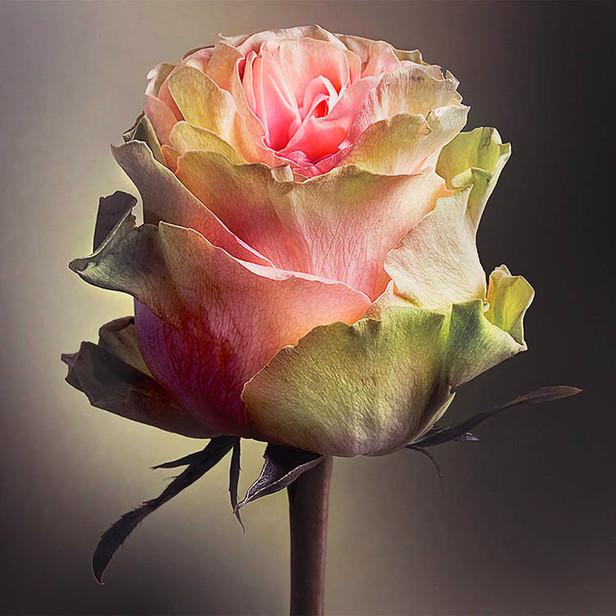 JF Rose 33