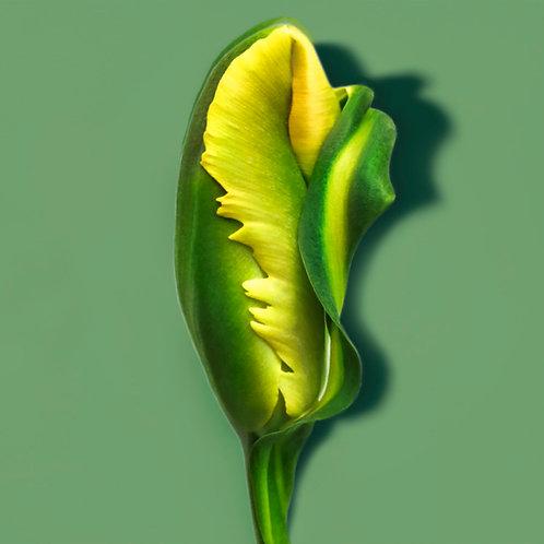 JF Tulip 51