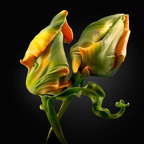 JF FlowerART Tulip 22
