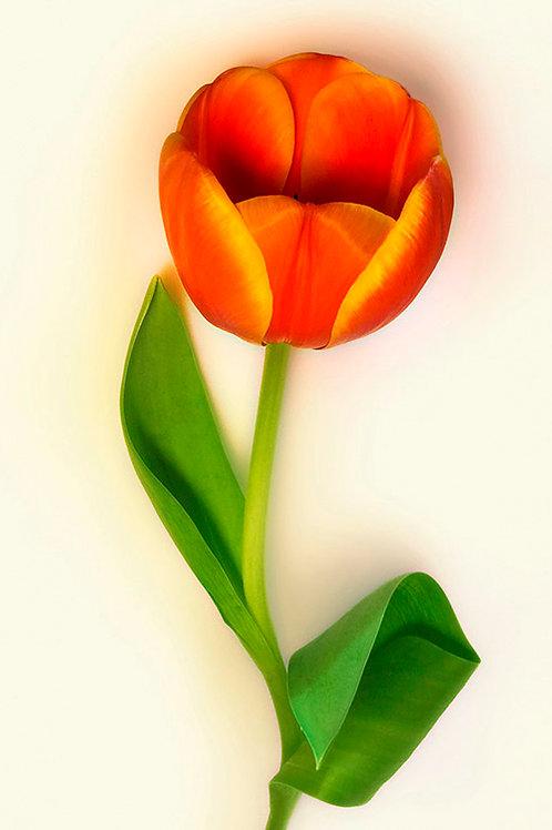 JF Tulip 32