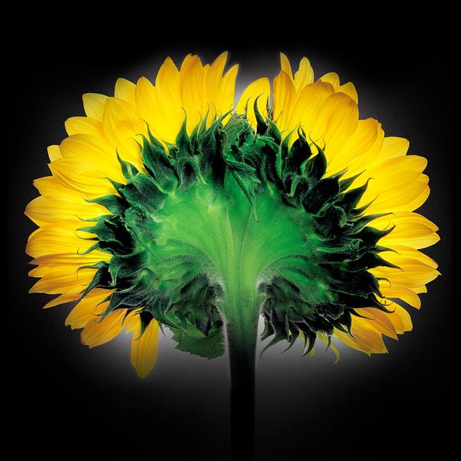 JF Sunflower 05