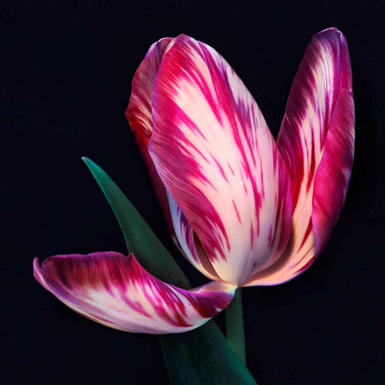 JF Tulip 19