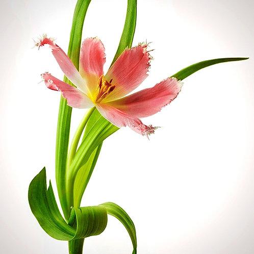 JF Tulip 40