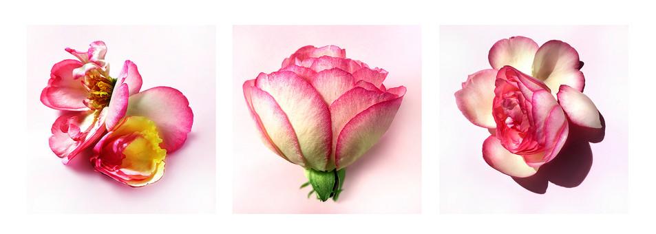 JF Triptichon 15 Rose Eden
