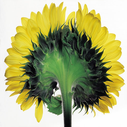 JF Sunflower 02