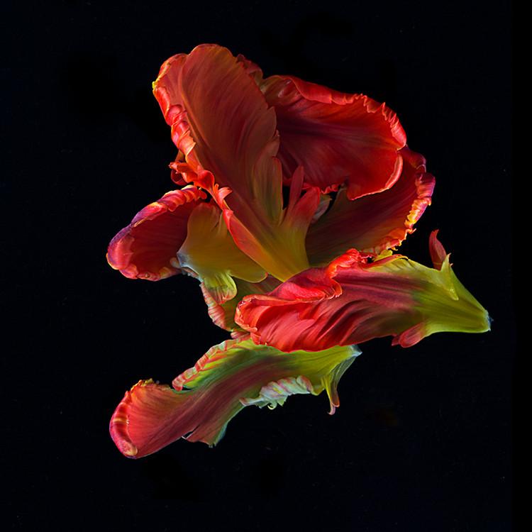 JF Tulip 72