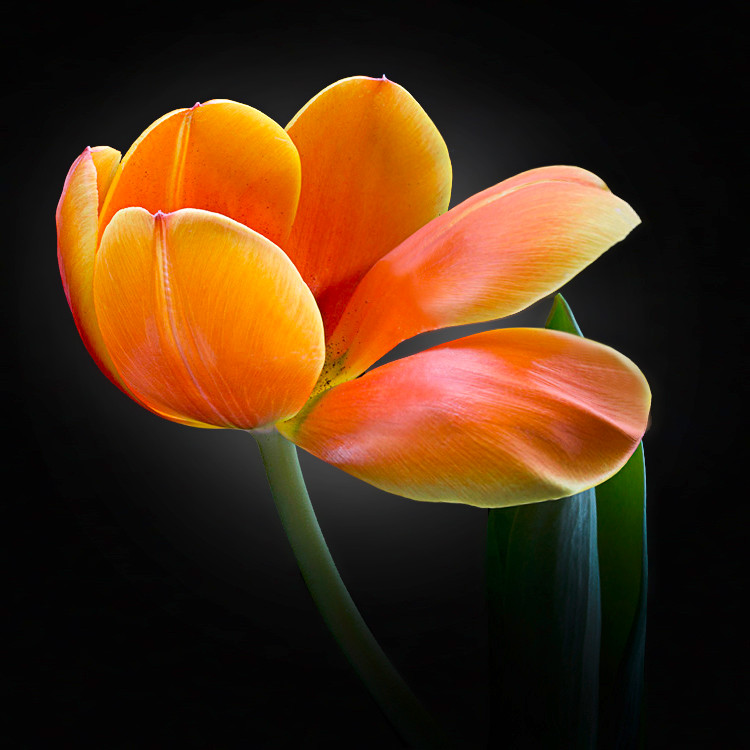JF FlowerART Tulip 04