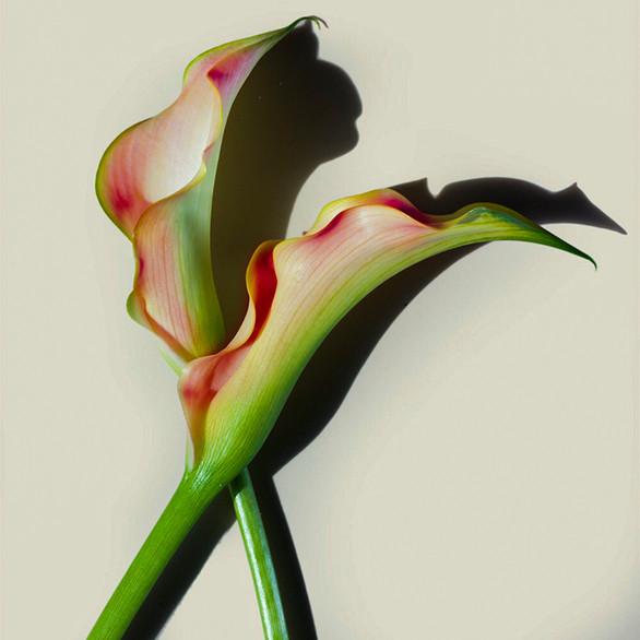 JF FlowerART Calla 19