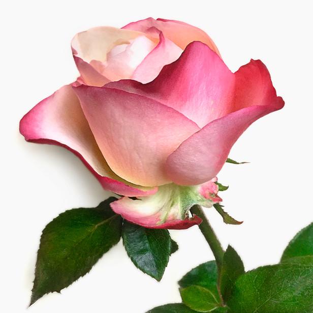 JF Rose 19