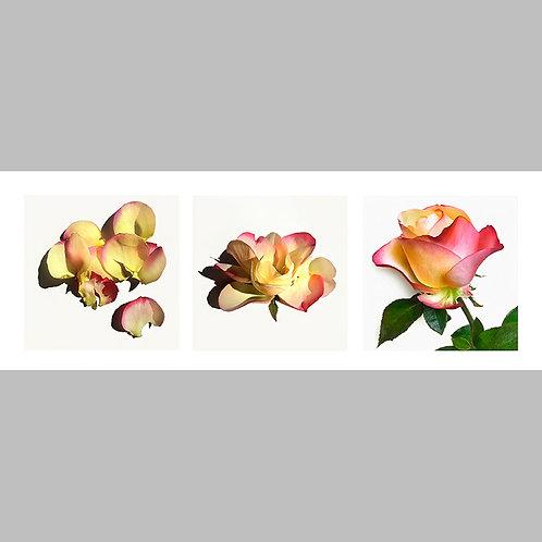 Triptycha SPECIAL Edtion - 13 JFSP Rose Nostalgie