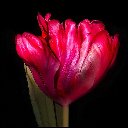 JF Tulip 58