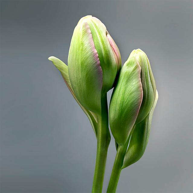 JF Tulip 17