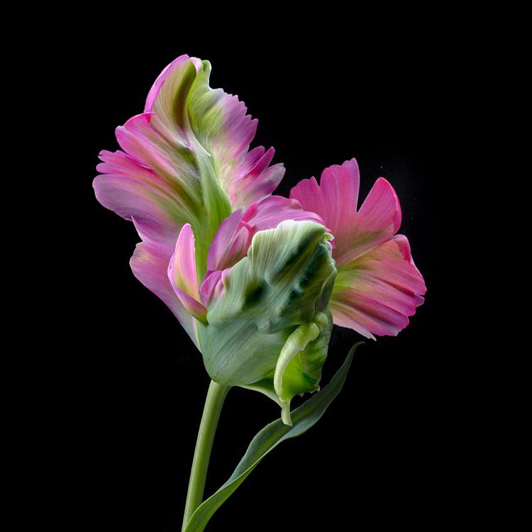 JF FlowerART Tulip 08