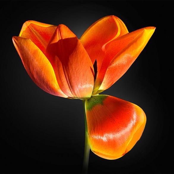 JF FlowerART Tulip 01