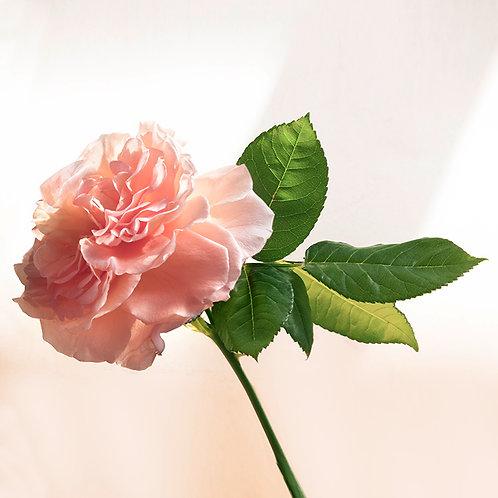 JF Rose 20