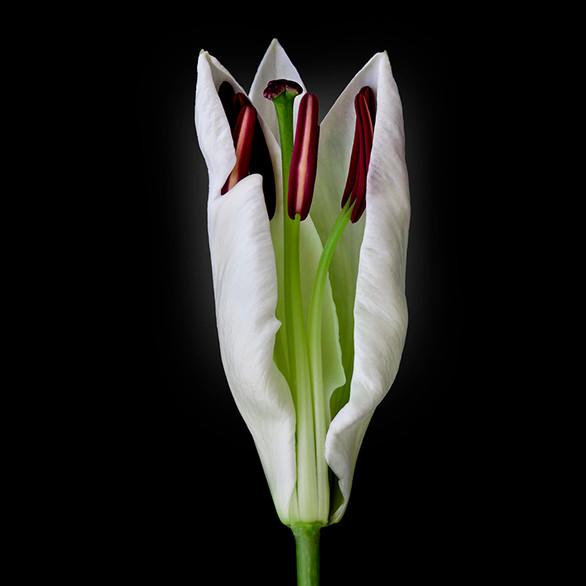 JF FlowerART Lily 35