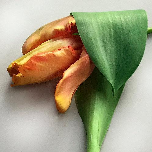 JF Tulip 48