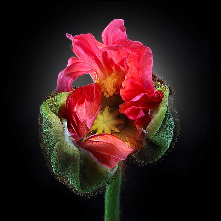 JF FlowerART Poppy 06.jpg