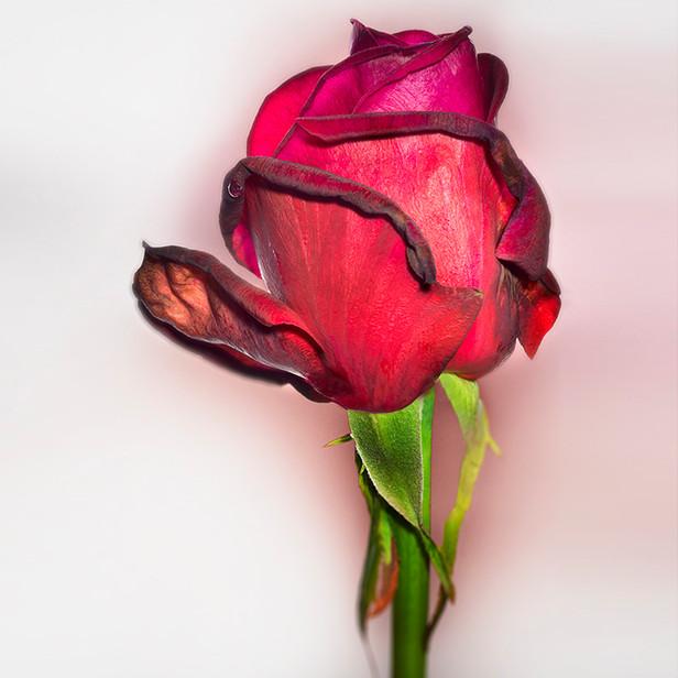 JF Rose 18