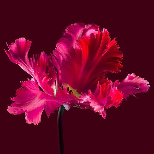 JF Tulip 47