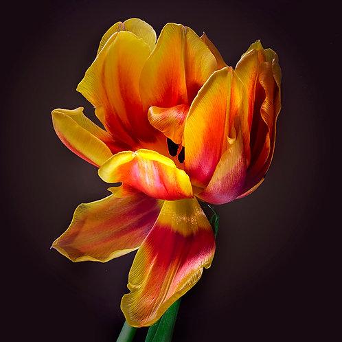 JF Tulip 35