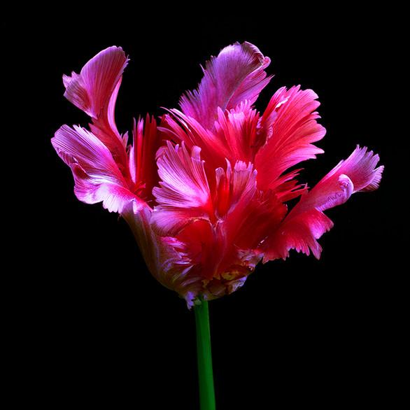 JF FlowerART Tulip 31