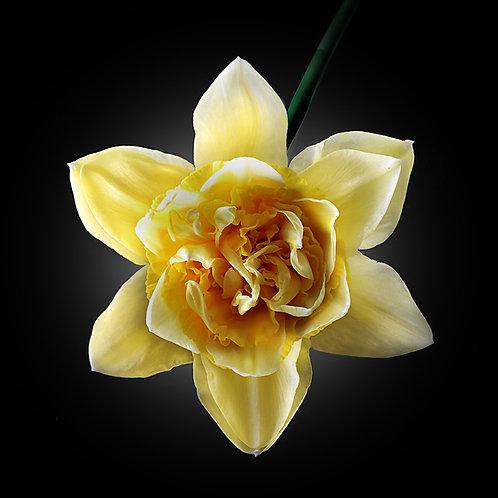 JF VB Daffodil 01