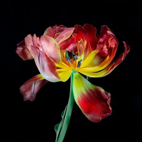 JF Tulip 46