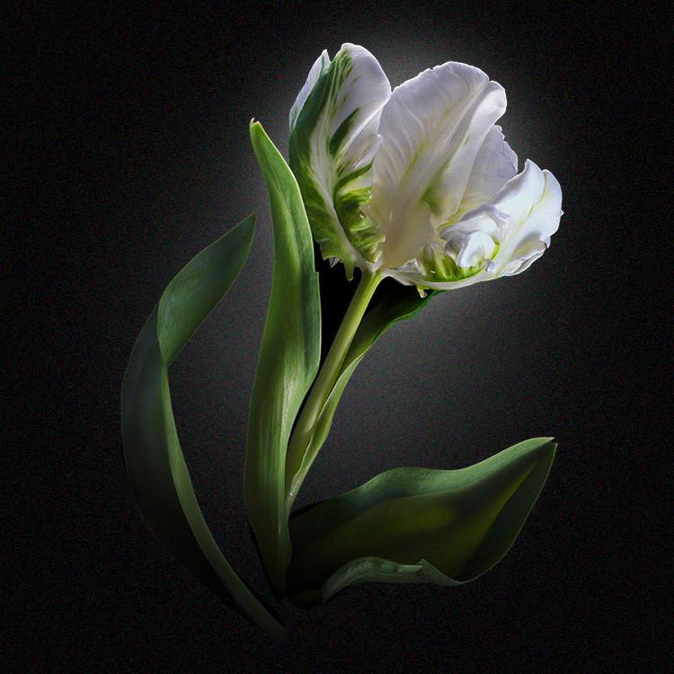 JF Tulip 31
