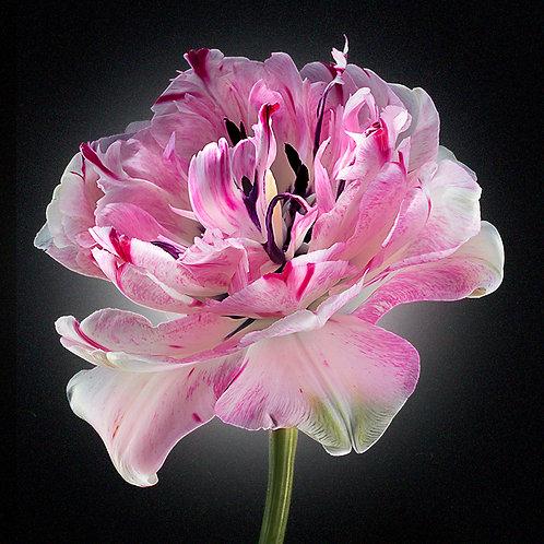 JF Tulip 13