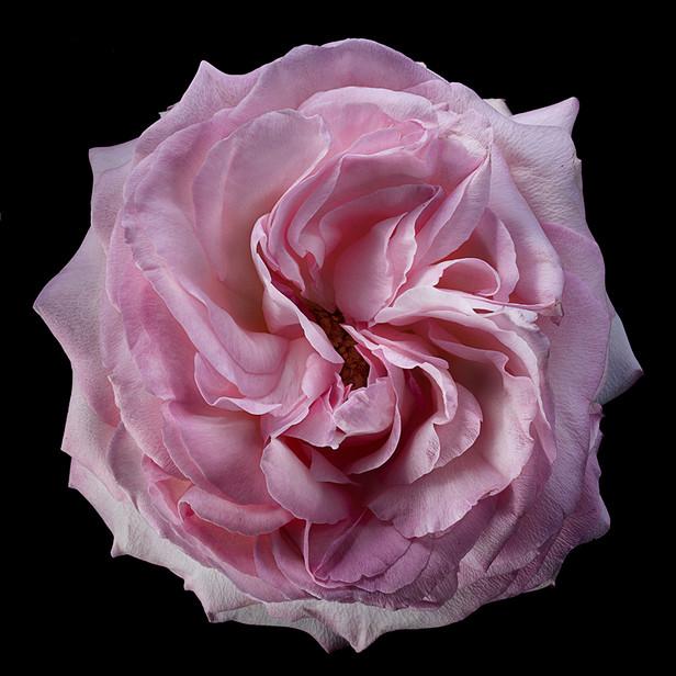 JF Rose 34