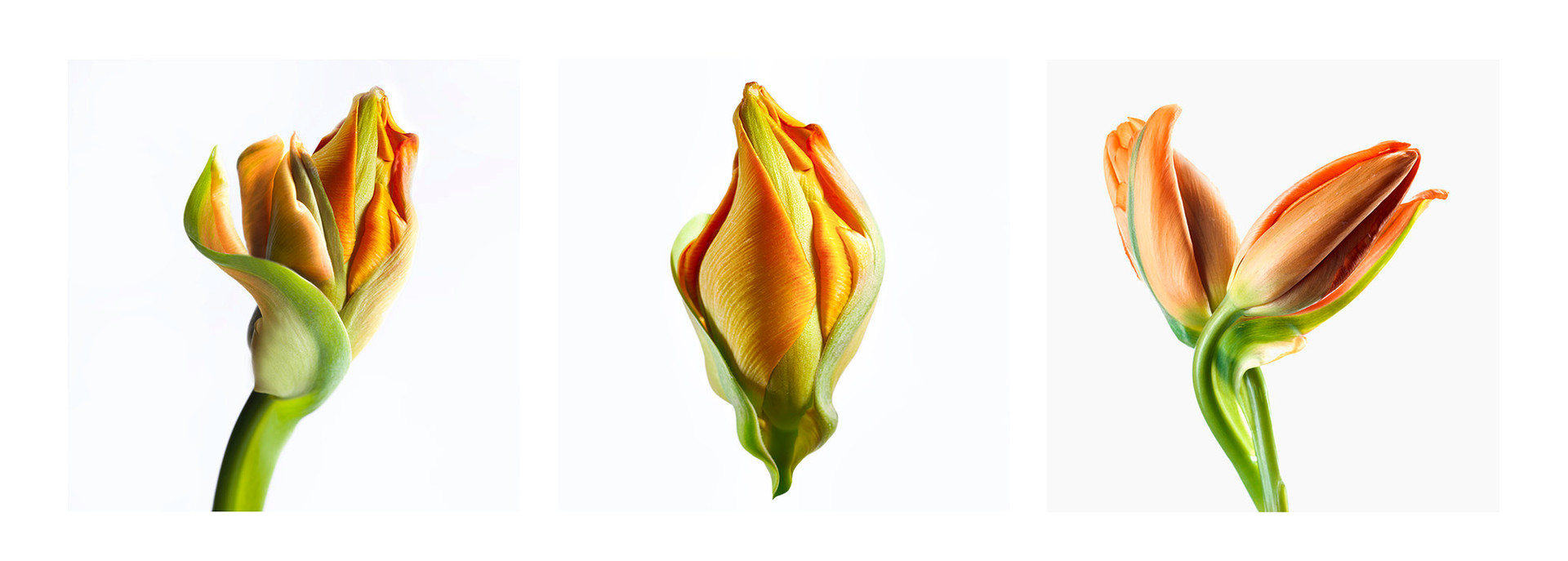 JF Triptichon 13 Orange Tulip