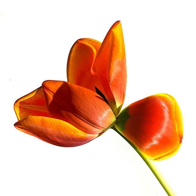 JF Tulip 34