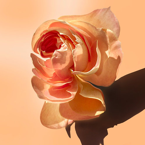 JF Rose 05
