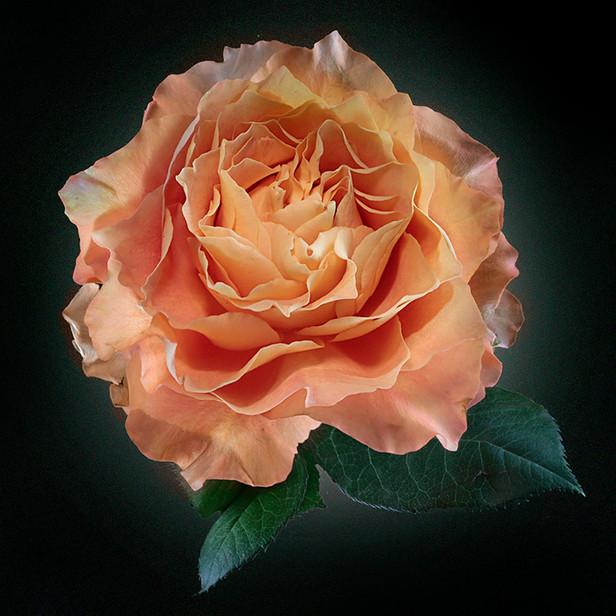 JF Rose 47