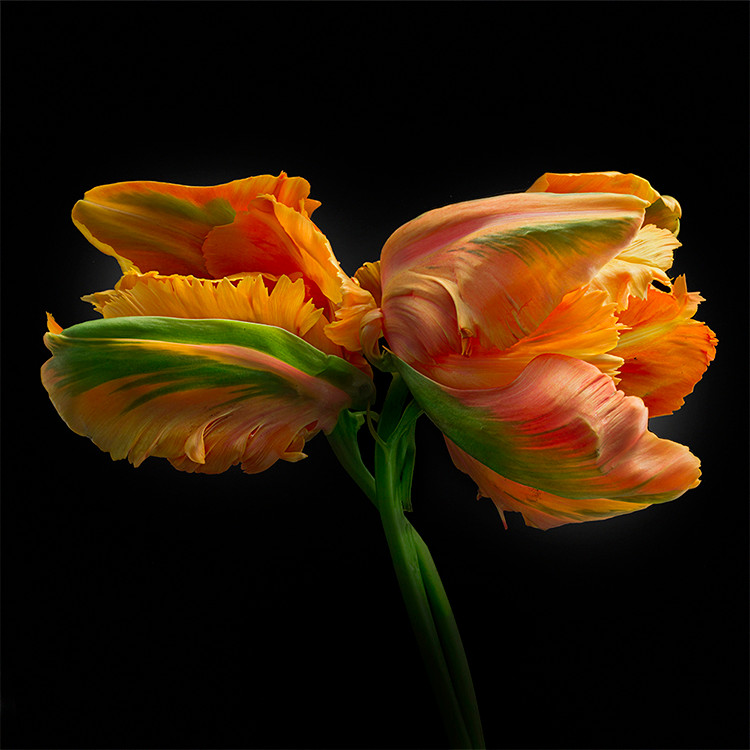 JF FlowerART Tulip 05