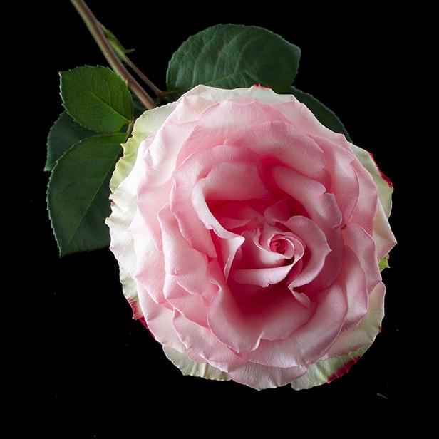 JF Rose 07