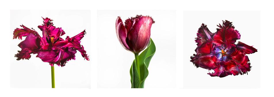 JF Triptichon 11 French Tulip