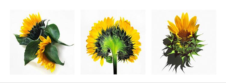 28 JF Sunflower