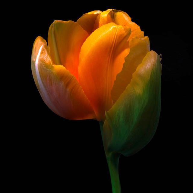 JF Tulip 73