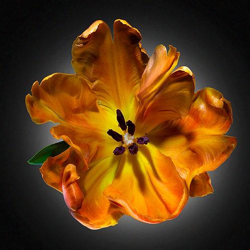 JF FlowerART Tulip 12