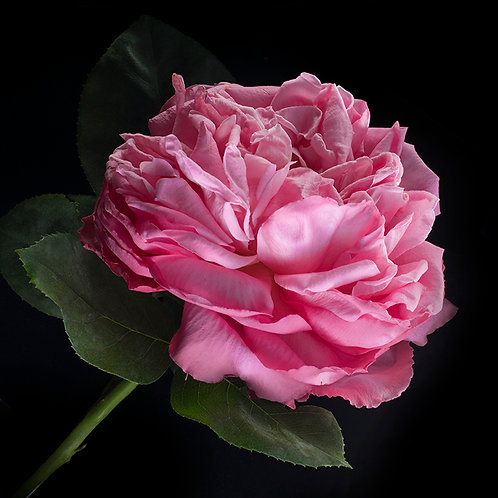 JF Rose 53