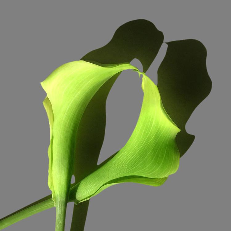 JF FlowerART Calla 12