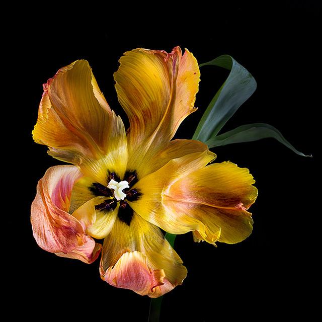 JF Tulip 70