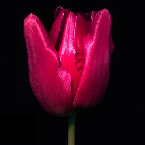 JF Tulip 55