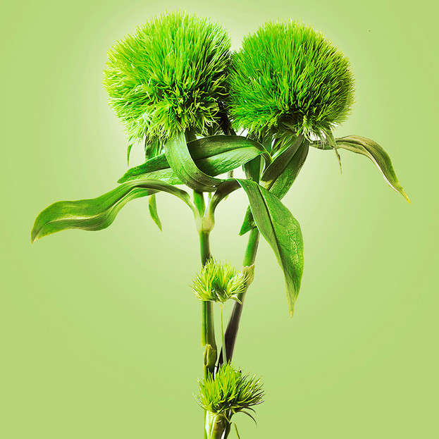 JF VB Dianthus Green Trick 01