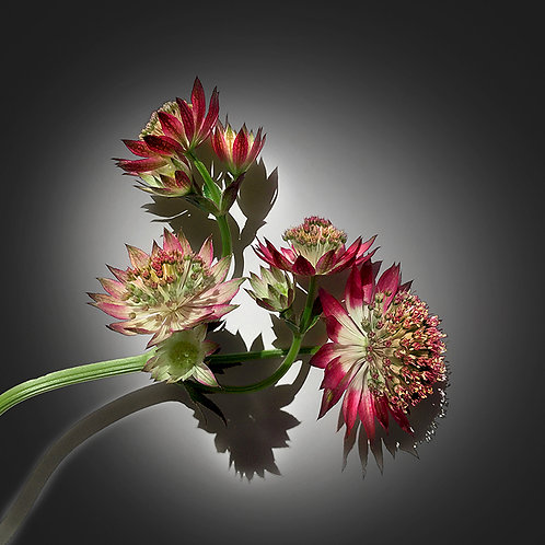 JF VB Astrantia 01
