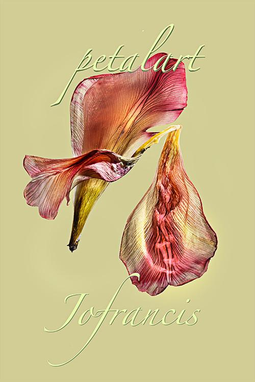 JF Tulip PA 01